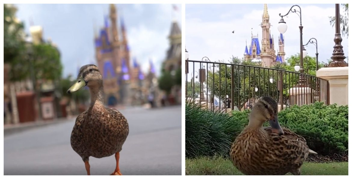 Video: The Ducks of the Magic Kingdom are excited to welcome back guests