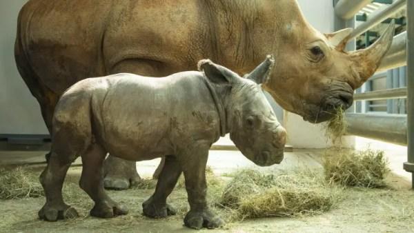 First Look at Disney's Animal Kingdom's New Baby Rhino 1