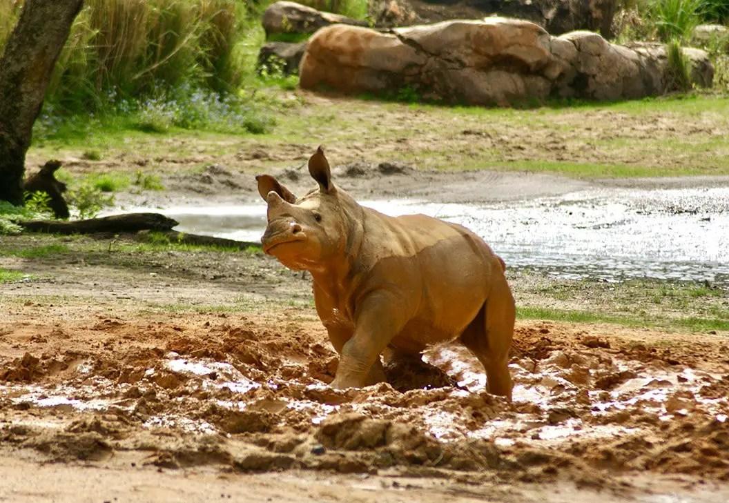 Baby Rhino 'Ranger' is Loving His Time on the Savannah on Kilimanjaro Safaris
