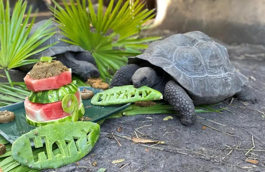 Disney's Animal Keepers throw birthday part for their Galapagos tortoises