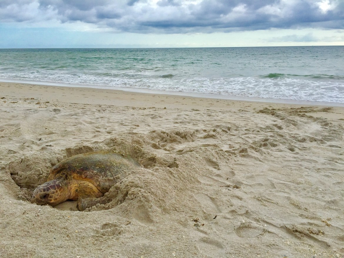 Disney Releases 4 Rehabilitated Green Sea Turtles in Vero Beach After Providing Months of Critical Care