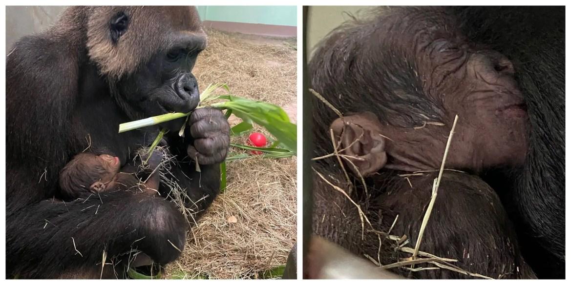 New Baby Lowland Gorilla born at Disney's Animal Kingdom