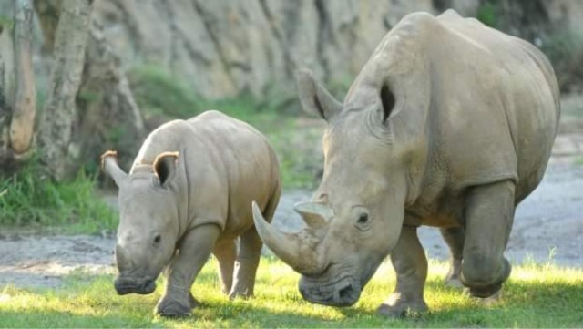 Closer look at the work Disney is doing to care and protect the Rhino Population 1