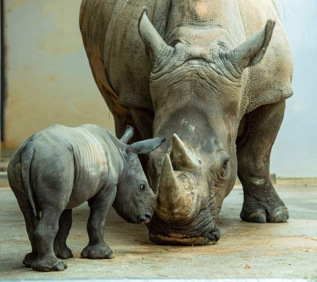 Closer look at the work Disney is doing to care and protect the Rhino Population 2