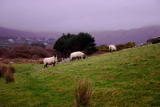 sheep on Sheepshead Way