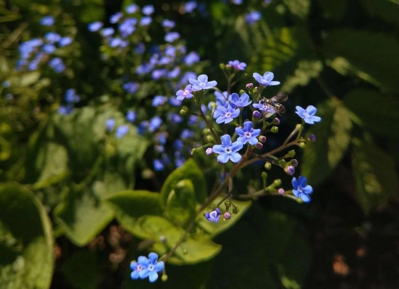 蜜蜂與藍色小花