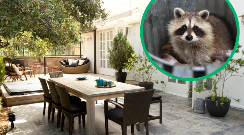 Do You Have a Raccoon Problem? 5 Things You Should Do