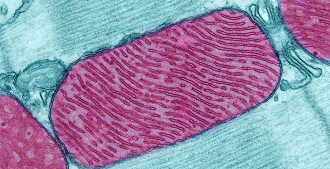 microscopic image of mitochondria