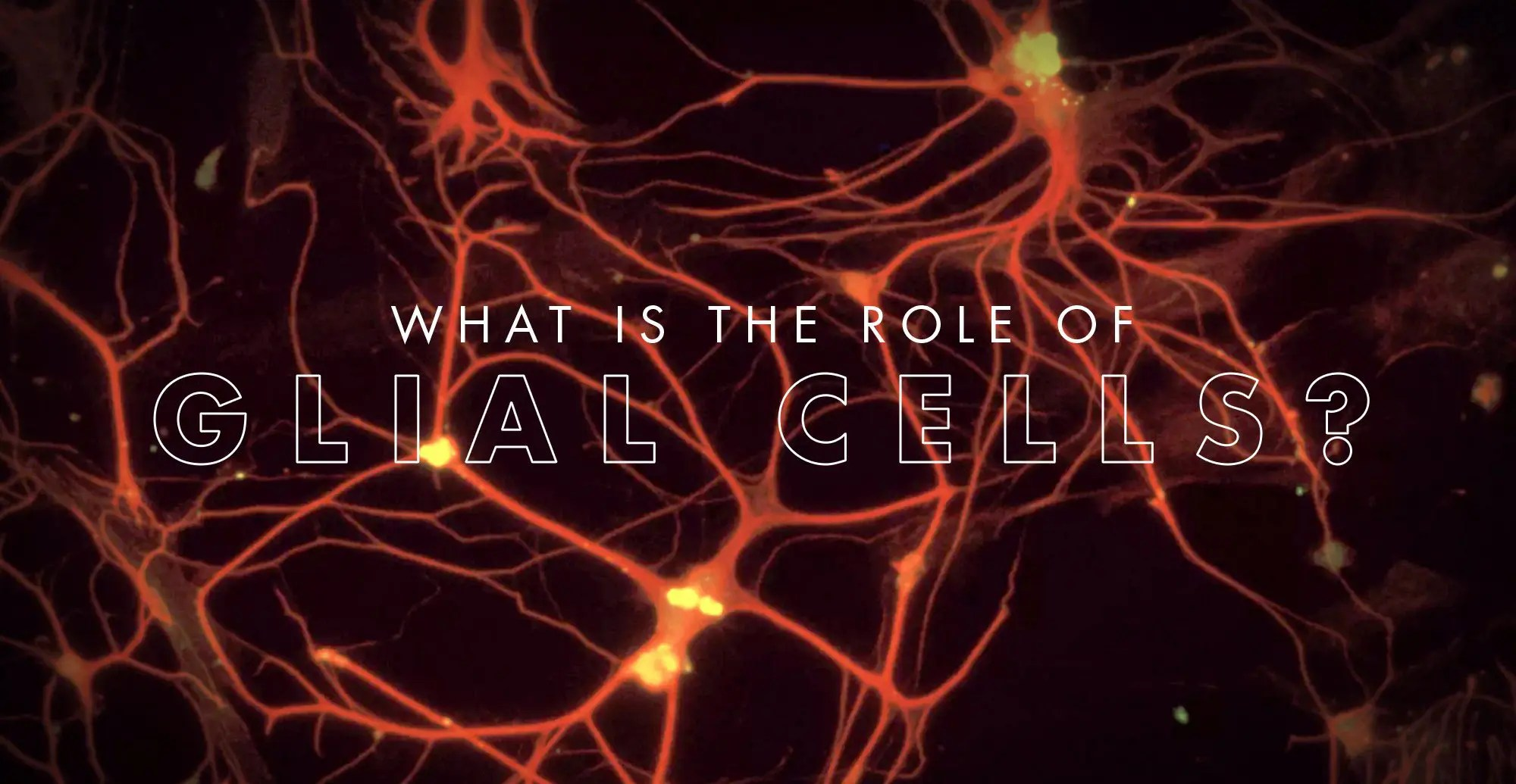 What is the Role of Glial Cells?