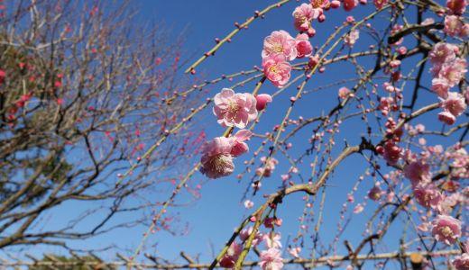 【東京観光】亀戸天神で「梅まつり」開催中✨亀戸駅周辺の街歩きも楽しむ