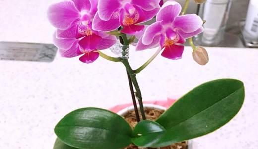 今年の母の日はネットで注文して胡蝶蘭をプレゼントしました。初の生花ネット通販利用のレポです🎵