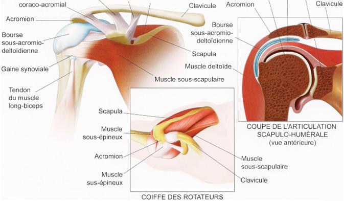 anatomie de l'épaule et de la coiffe des rotateurs
