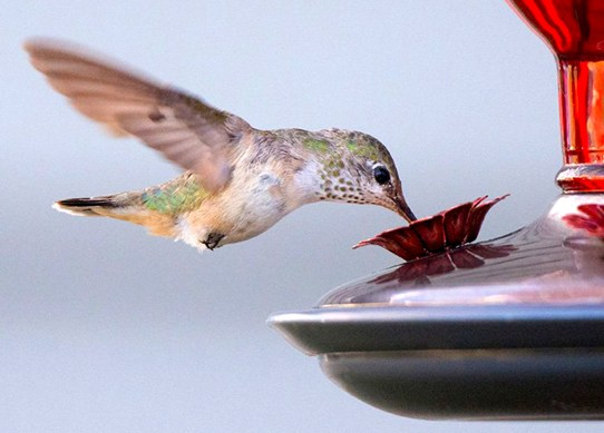 04-calliope_hummingbird_migration