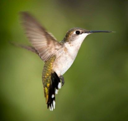 06-Hummingbird_Texas