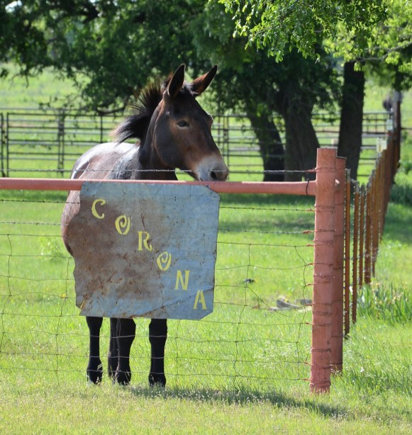 Corona the mule wonders when all the fuss will end.