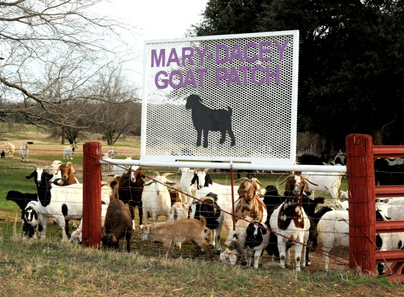 The Mary-Dacey Goat Patch herd trots to the gate anticipating food, or at least attention.