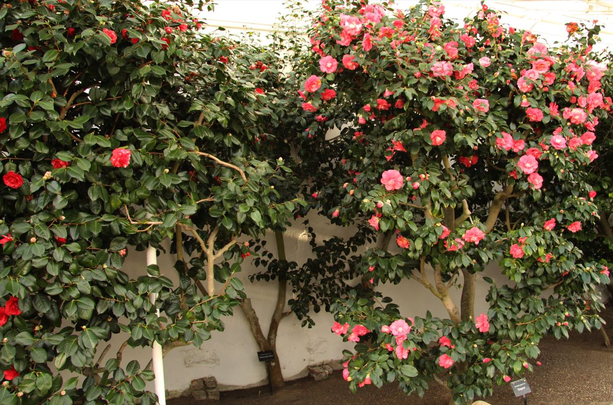 Chiswick House Camellia Show 1