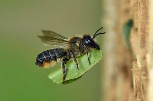 Andy Sands Wildlife photographer Leaf Cutting Bee Megachile ligniseca