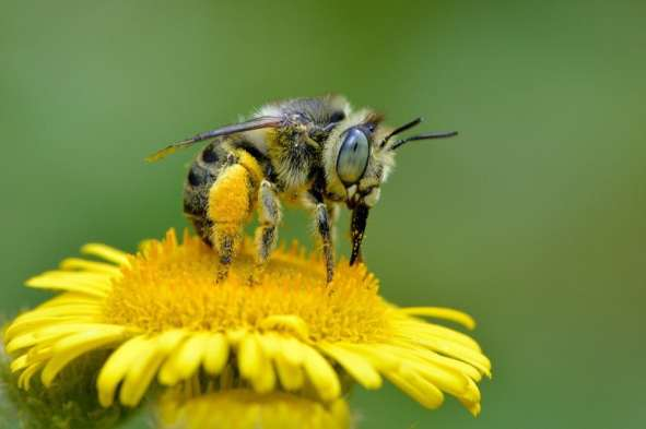 Andy Sands Wildlife photographer Mining Bee anthophora bimaculata, cover photo for British Wildlife Photographers Book 6