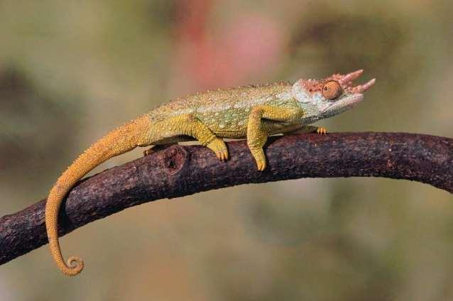 Andy Sands Wildlife photographer Ngosi volcano chameleon
