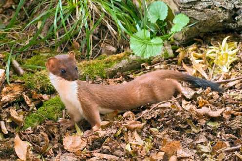Andy Sands Wildlife photographer Stoat