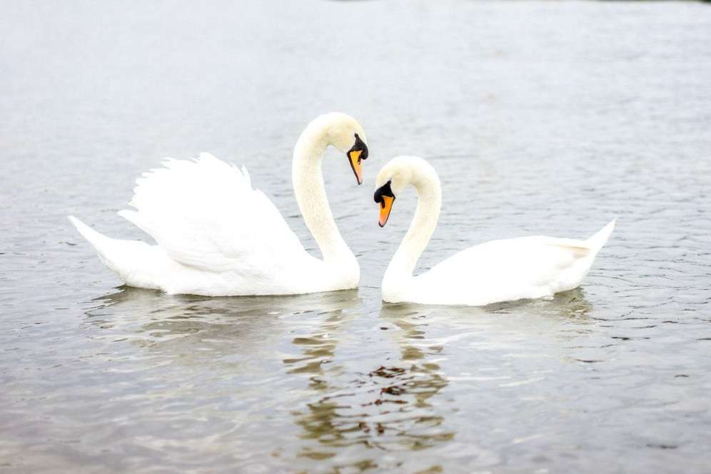 Chiswick Calendar Photographers Anna Kunst Swans
