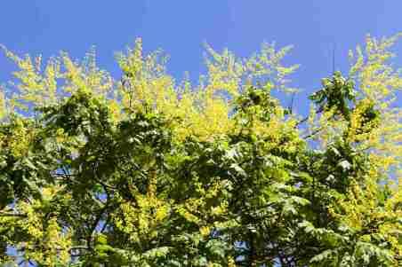 Golden rain tree - Koelreuteria paniculata