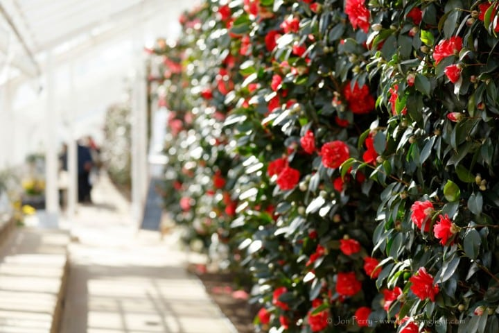 Visiting the Camellias, © Jon Perry,web