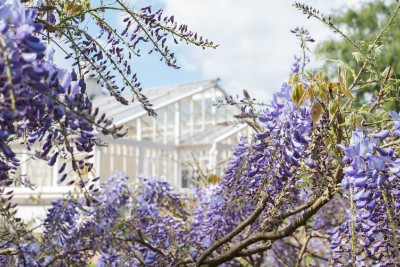 Frank Noon - Chiswick House wisteria