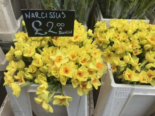 Narcissus__web