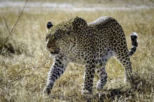 Mombo_leopard__web