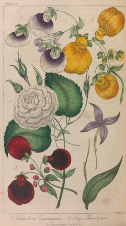 Capture 3 A yellow calceolaria and a rose illustration from The Horticultural Magazine 1837