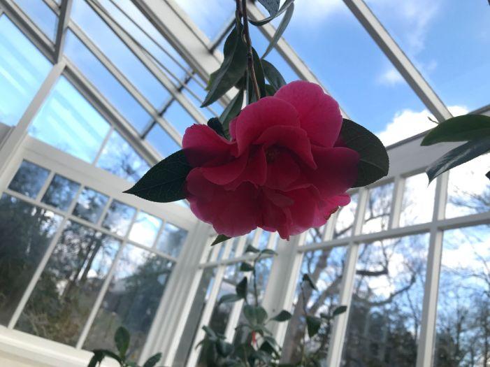 Camellia Reticulata Captain Rawes (1)