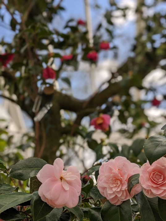 Chiswick House Camellia Show 14