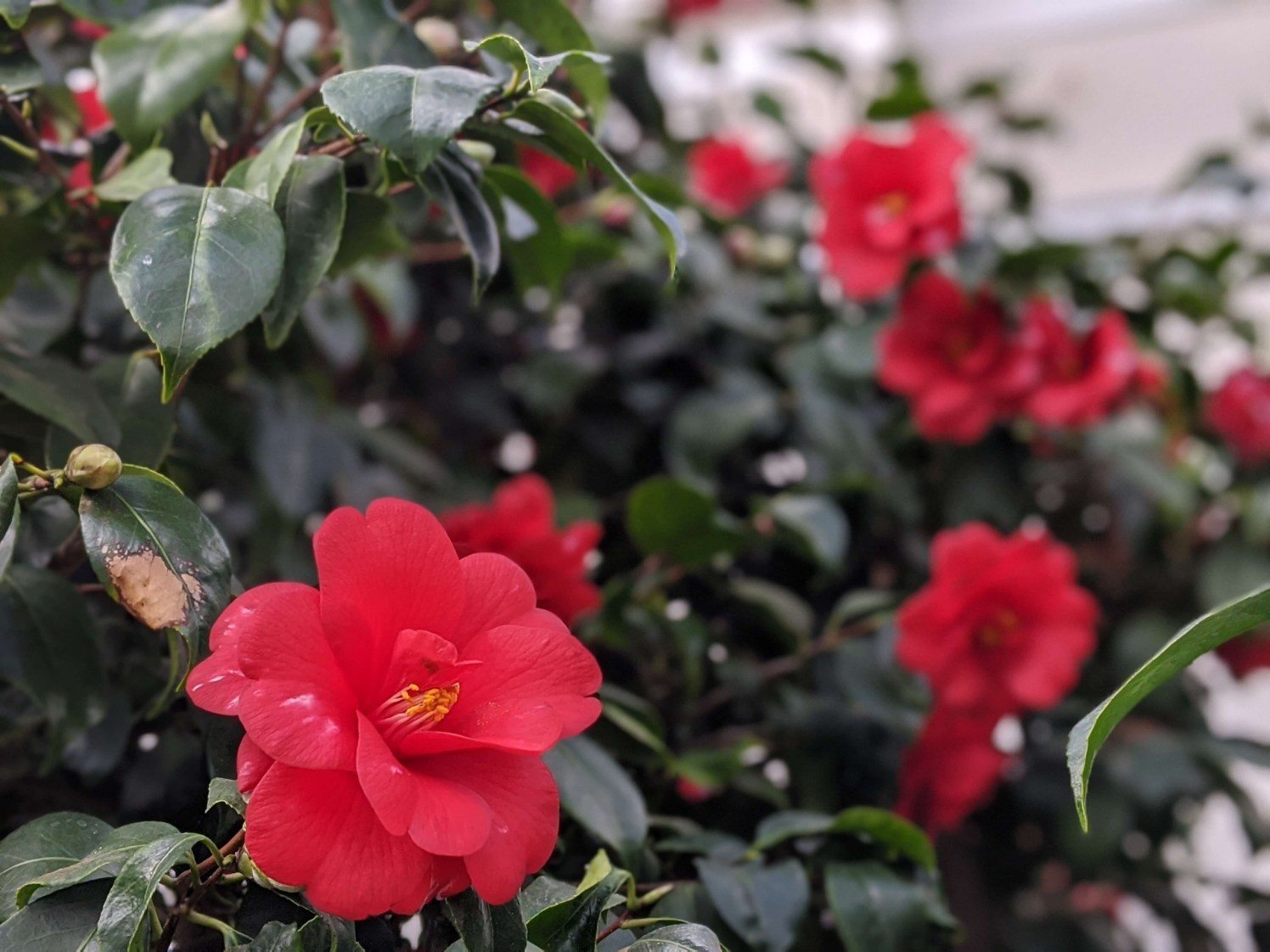 Chiswick House Camellia Show 4 2