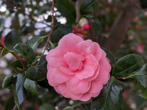 Chiswick House Camellia Show 6