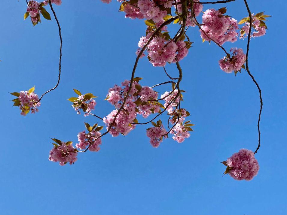 Jennifer Griffiths cherry blossom 8