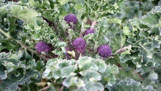 Purple-sprouting-broccoli_WSYD0018484;Purple-sprouting-broccoli