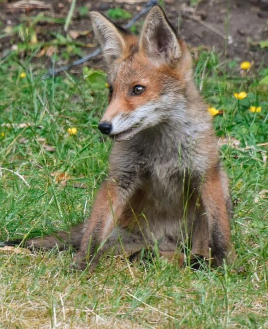 Fox cubs 1 - Mark Lawson