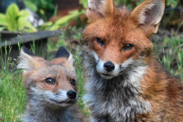 Fox-cubs-3-Mark-Lawson 6x4