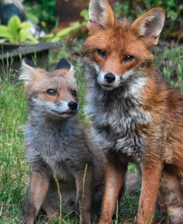 Fox cubs 3 - Mark Lawson