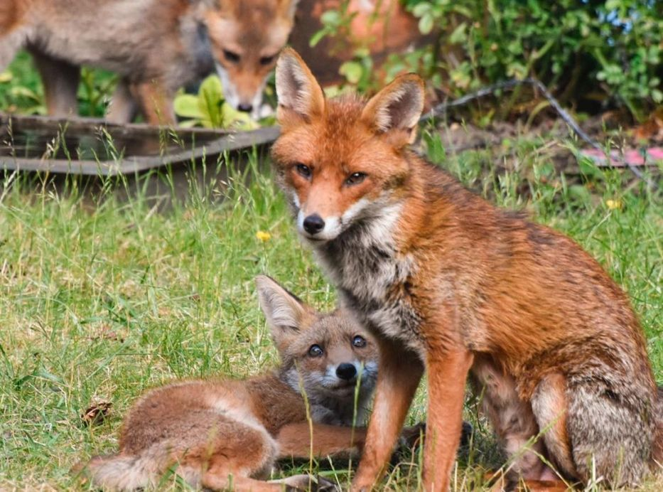 Fox cubs 6 - Mark Lawson