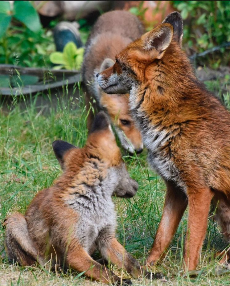 Fox cubs 8 - Mark Lawson