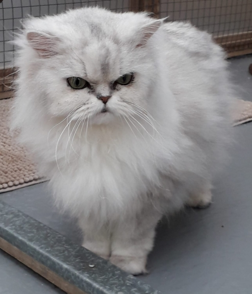 Gucci, a cat in need of urgent adoption