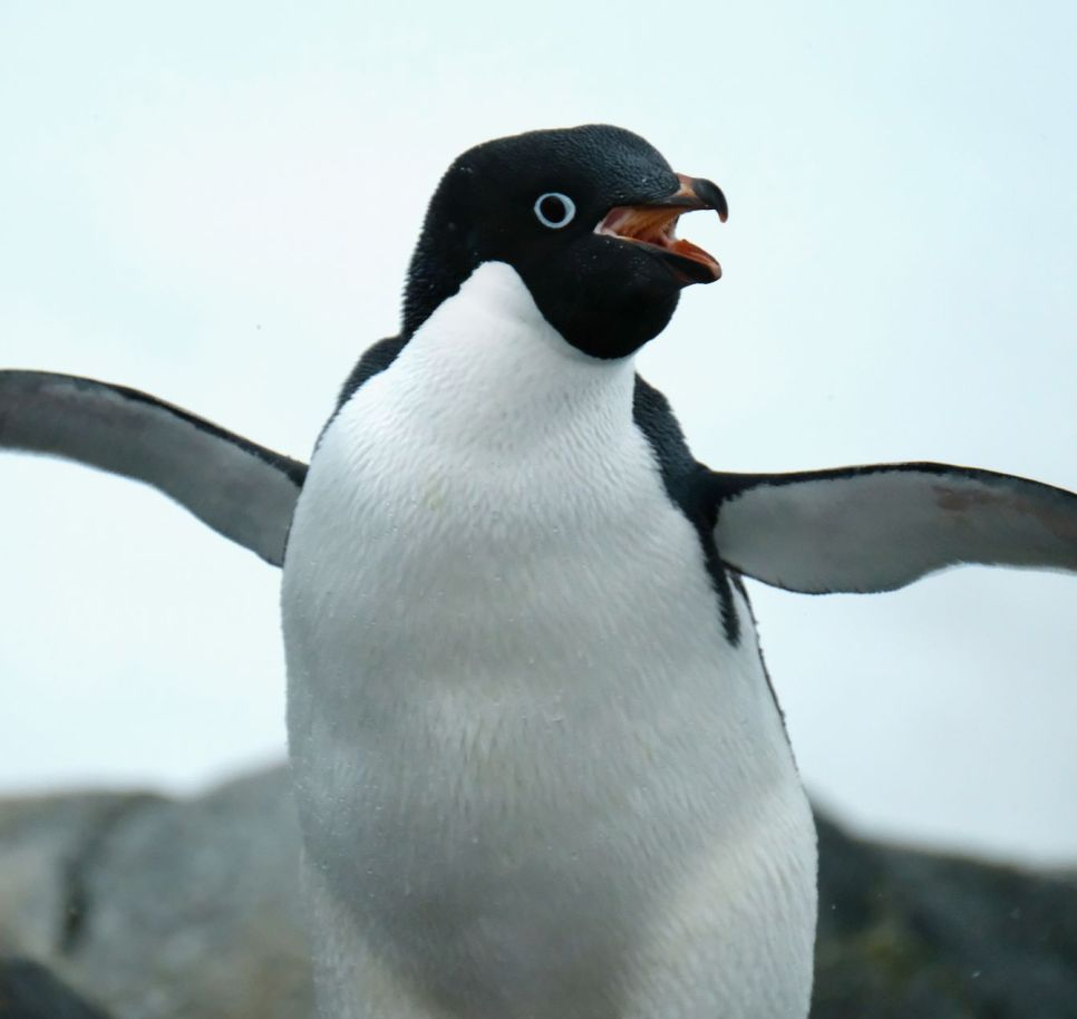 Animals - David Selby, Adelie Penguin