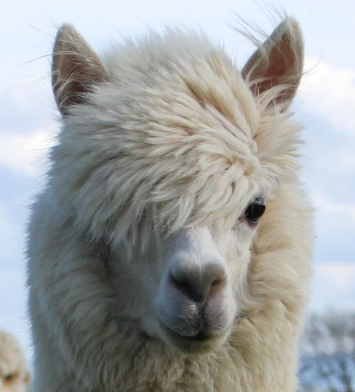 RESIZED Elvis the 80s quiff alpaca 2