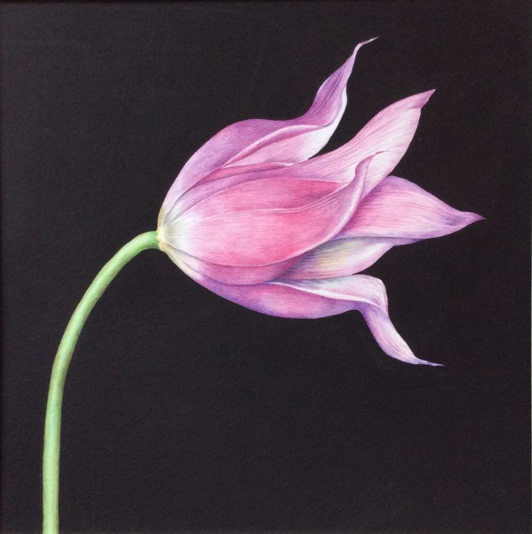 Ballet (lily flowered tulip)_web