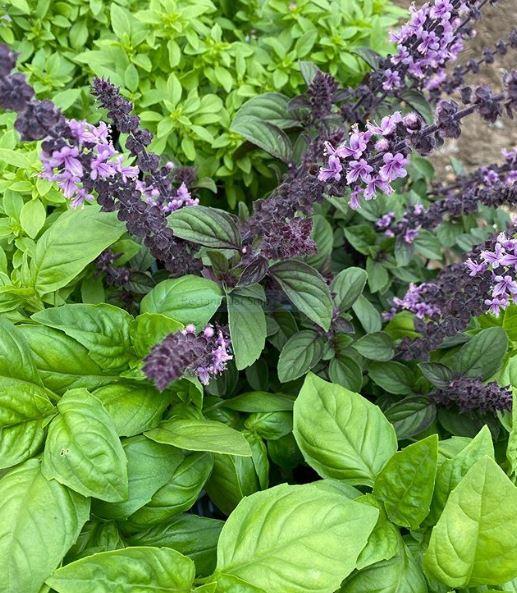 Herbs 1 - African Blue Basil