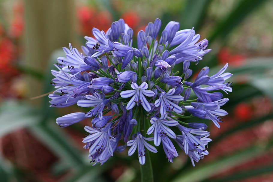 flower-bloom-agapanthus