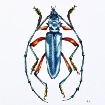Laura Gompertz 'Blue and Orange Beetle' (Philematium virens) 12.10.20